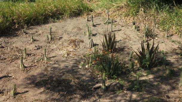 "Christobal's San Pedro  cactus garden. ""I'm making my own little desert in the jungle!"", cue laugh"