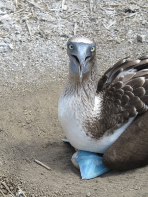 Blue-footed boobies at Poor Man's Galapagos